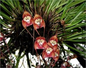 Monkey Orchids!
